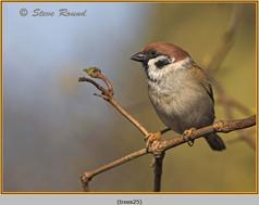 tree-sparrow-25.jpg