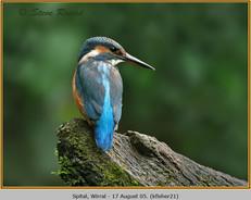 kingfisher-21.jpg