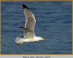 yellow-legged-gull-13.jpg
