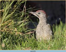 green-woodpecker-30.jpg