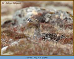 eider-duck- 73.jpg