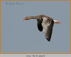 greylag-goose-19.jpg