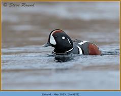 harlequin-duck-32.jpg