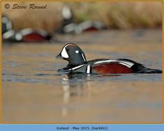 harlequin-duck-41.jpg