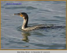 cormorant-11.jpg