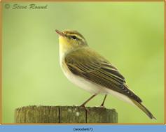 wood-warbler-67.jpg
