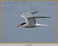 common-tern-27.jpg