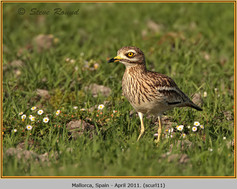 stone-curlew-11.jpg
