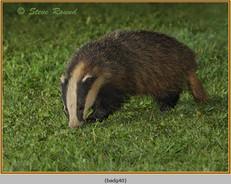badger-40.jpg