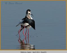 black-winged-stilt-45.jpg
