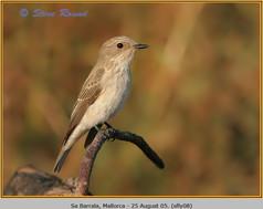 spotted-flycatcher-08.jpg