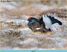 black-grouse-125.jpg