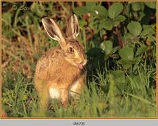 brown-hare-73.jpg