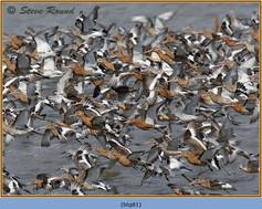 black-tailed-godwit- 81.jpg