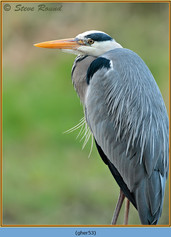 grey-heron-53.jpg