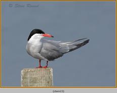 common-tern-15.jpg
