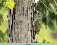 green-woodpecker-39.jpg
