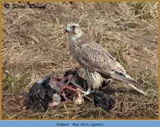 gyr-falcon-01.jpg