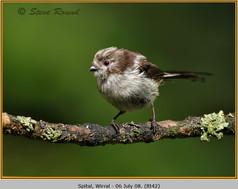 long-tailed-tit-42.jpg