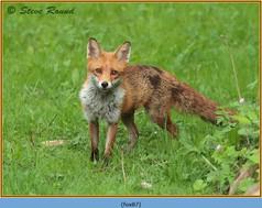 fox-87.jpg