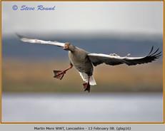 greylag-goose-16.jpg