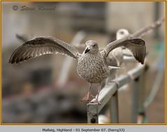 herring-gull-33.jpg