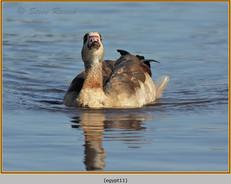 egyptian-goose-11.jpg