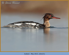 red-breasted-merganser-21.jpg