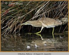squacco-heron-06.jpg