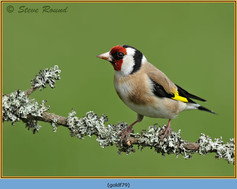 goldfinch-79.jpg