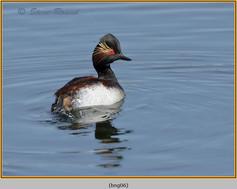 black-necked-grebe-06.jpg