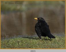 blackbird-45.jpg