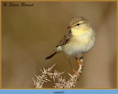 willow-warbler-45.jpg
