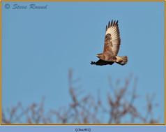 buzzard- 81.jpg