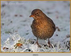 blackbird-65.jpg
