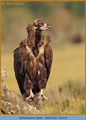 black-vulture-12.jpg