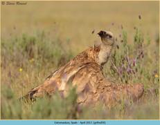 griffon-vulture-59.jpg