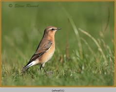 wheatear-51.jpg