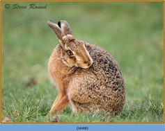 brown-hare-88.jpg