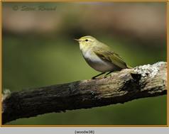 wood-warbler-38.jpg