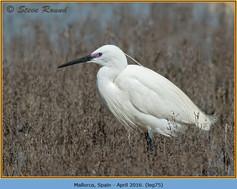 little-egret-75.jpg