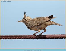 crested-lark-11.jpg