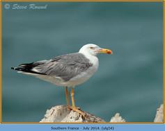 yellow-legged-gull-54.jpg