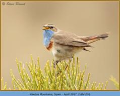 bluethroat-09.jpg