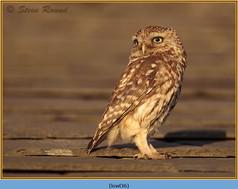 little-owl-36.jpg