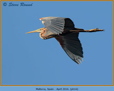 purple-heron-16.jpg