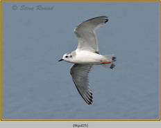 little-gull-25.jpg
