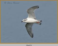 little-gull-25.jpg