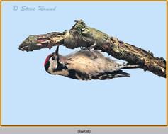 lesser-spotted-woodpecker-08.jpg