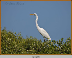 great-white-egret-23.jpg